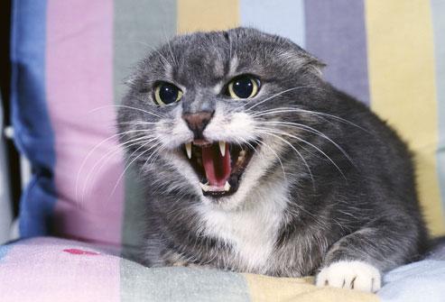 gatto-aggressivo